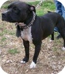 American Staffordshire Terrier Mix Dog for adoption in Justin, Texas - Brutis