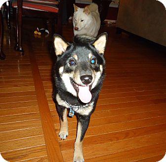 Shiba Inu Puppy for adoption in Manassas, Virginia - MICKEY MOTO