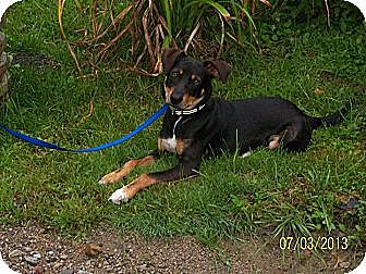 Mountain Cur Dog for adoption in Coal City, West Virginia - Jake From State Farm