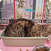 Adopt A Pet :: Tommy - Bedford, MA
