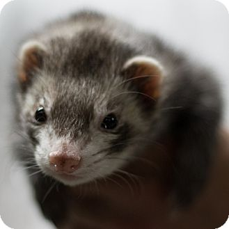 Ferret for adoption in Balch Springs, Texas - Gizmo