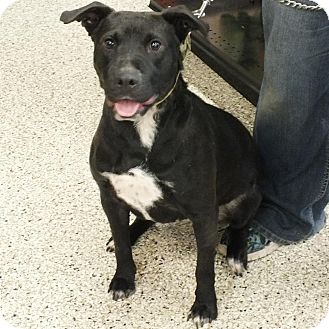 Labrador Retriever/Pit Bull Terrier Mix Dog for adoption in Minneapolis, Minnesota - Cora