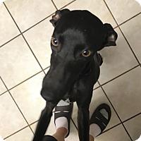 Adopt A Pet :: Plato in DFW area - Argyle, TX