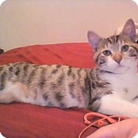 Domestic Shorthair Cat for adoption in Valley Park, Missouri - Ruby f/n/a Olive