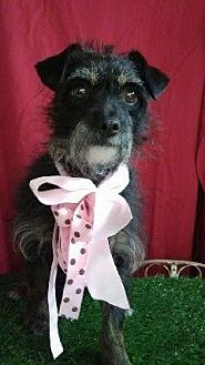 Terrier (Unknown Type, Small) Mix Dog for adoption in San Diego, California - LEYLA