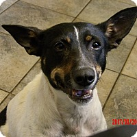Rat Terrier/Terrier (Unknown Type, Small) Mix Dog for adoption in Burlington, Vermont - Carly (31 lb) GREAT Family Pet