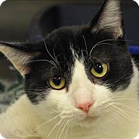 Domestic Shorthair Cat for adoption in Osage Beach, Missouri - Oscar