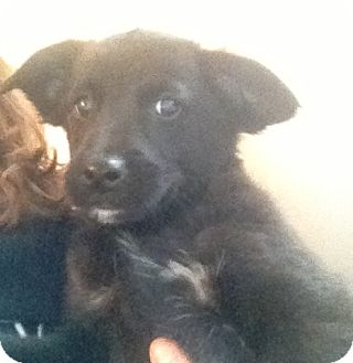 Labrador Retriever Mix Puppy for adoption in Richmond, Virginia - Zoey