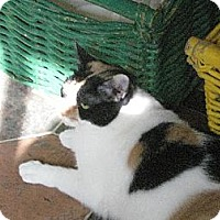Domestic Shorthair Cat for adoption in Sherman Oaks, California - Freida