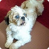 Shih Tzu Dog for adoption in Jacksonville, Florida - Raffi