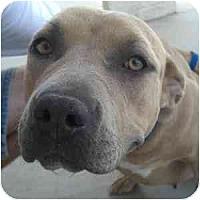 Adopt A Pet :: Farrah - Phoenix, AZ