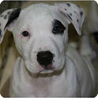 Adopt A Pet :: Captain - DFW, TX