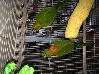 Conure for adoption in Punta Gorda, Florida - Bangles & Trooper