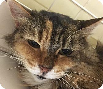 Domestic Longhair Cat for adoption in Statesville, North Carolina - Latiffa