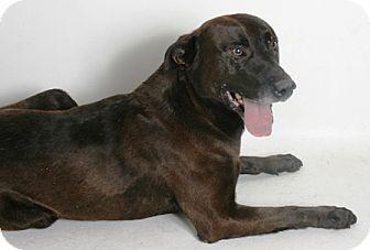 Labrador Retriever Mix Dog for adoption in Redding, California - Dingo