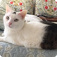 Adopt A Pet :: Cleo - Novato, CA