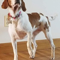 Beagle/Brittany Mix Dog for adoption in Rustburg, Virginia - Gina-Fostered