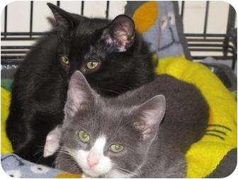 Polydactyl/Hemingway Kitten for adoption in Roseville, Minnesota - Paws and Pawlene
