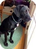 Labrador Retriever Mix Dog for adoption in Lewisville, Indiana - Evie