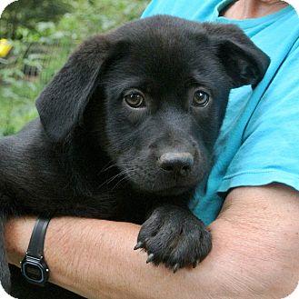 Rottweiler/Labrador Retriever Mix Puppy for adoption in Groton, Massachusetts - Romeo