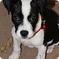 Adopt A Pet :: ITTY BITTY PITTIE - Bryan, TX