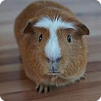 Adopt A Pet :: Rusty - Brooklyn Park, MN