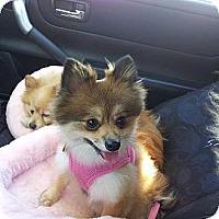 Adopt A Pet :: TINKERBELLE - Hesperus, CO
