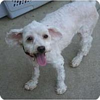 Adopt A Pet :: Sheena - Westfield, IN