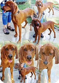 Vizsla/Redbone Coonhound Mix Dog for adoption in Hot Springs, Virginia - Dozier