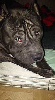 American Pit Bull Terrier Mix Dog for adoption in Sayville, New York - Titus