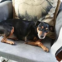 Adopt A Pet :: Dobie - Sinking Spring, PA