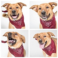 Collie/German Shepherd Dog Mix Dog for adoption in Nashville, Tennessee - CAGNEY