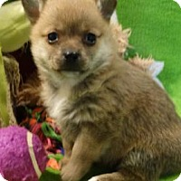 Adopt A Pet :: Foxy Lady - Vacaville, CA