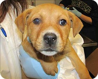 Labrador Retriever Mix Puppy for adoption in Raleigh, North Carolina - Lilly Lollipop