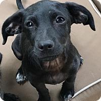 Adopt A Pet :: A - AUSTIN - Seattle, WA
