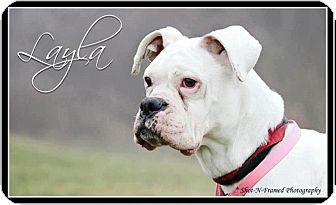 Boxer Mix Dog for adoption in Garden City, Michigan - Layla