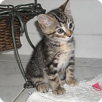 Adopt A Pet :: Tiki (and Teva) - Arlington, VA