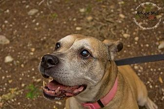 Pit Bull Terrier Mix Dog for adoption in Lago Vista, Texas - Kobe