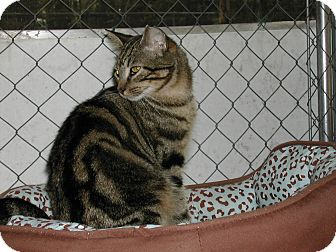 Domestic Shorthair Cat for adoption in Naples, Florida - Colin