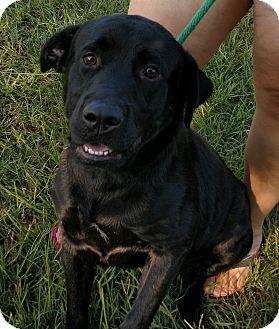 Labrador Retriever Mix Dog for adoption in Mantua, New Jersey - Gator