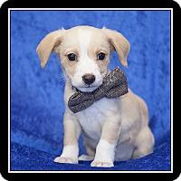 Adopt A Pet :: Socks - San Diego, CA