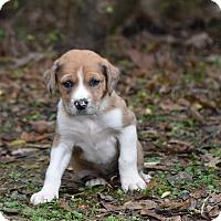 Adopt A Pet :: Gracie - Groton, MA