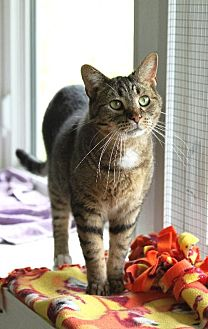 Domestic Shorthair Cat for adoption in South Amana, Iowa - Cosmo