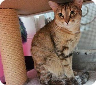 Domestic Shorthair Cat for adoption in Cocoa, Florida - Cleopatra (Merritt Island Center)