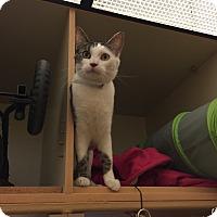 Adopt A Pet :: SPOT - Brea, CA