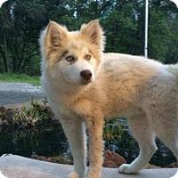 Adopt A Pet :: Harley($400) - Redding, CA
