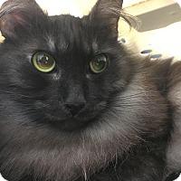 Maine Coon Cat for adoption in Cerritos, California - Dusty