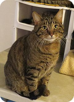 Domestic Shorthair Cat for adoption in Geneseo, Illinois - Skittles