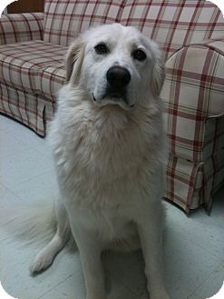 Great Pyrenees Mix Dog for adoption in Manchester, Connecticut - Wrigley ADOPTION PENDING