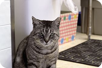 Domestic Shorthair Cat for adoption in Chicago, Illinois - Agent Arlen Silver